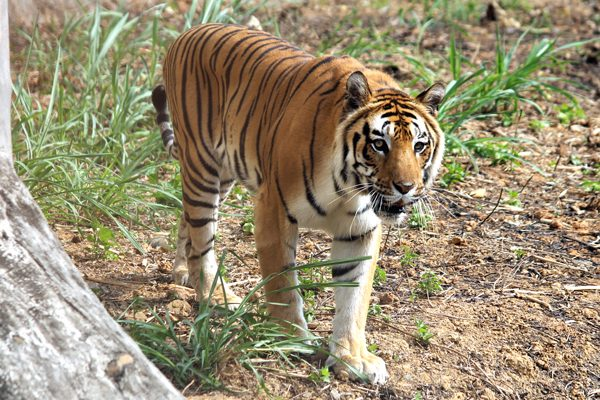 One of the two Royal Bengal Tigers at the Nagaland Zoological Park in Rangapahar, near Dimapur, seen here taking a stroll.