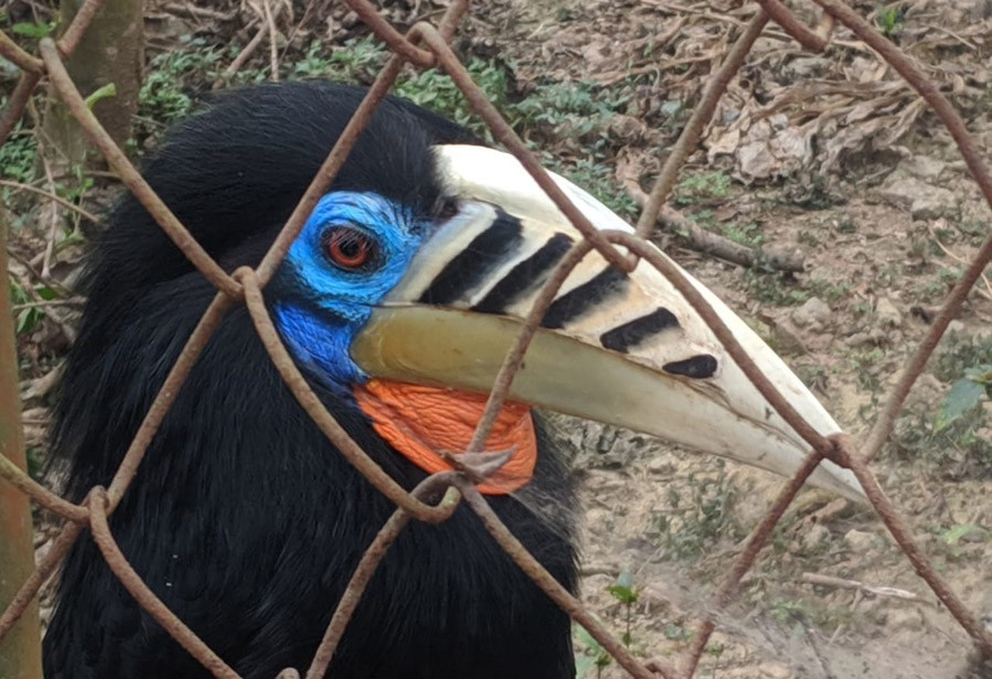 A close-up picture of rufous-necked hornbill taken at Nagaland Zoological Park in Dimapur.