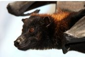 4 new bat species related to ones linked to Covid-19 discovered