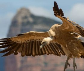 India to Release Eight Captive-Reared Vultures With Tracking Devices