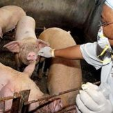 Common Bacterial Diseases of Pig and its Preventive Measures