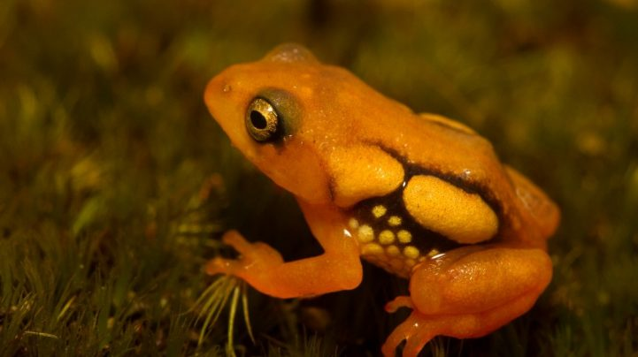 ZSI lists 20 species of amphibians as 'critically endangered'