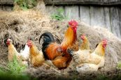 Tips for a Successful Poultry Farming