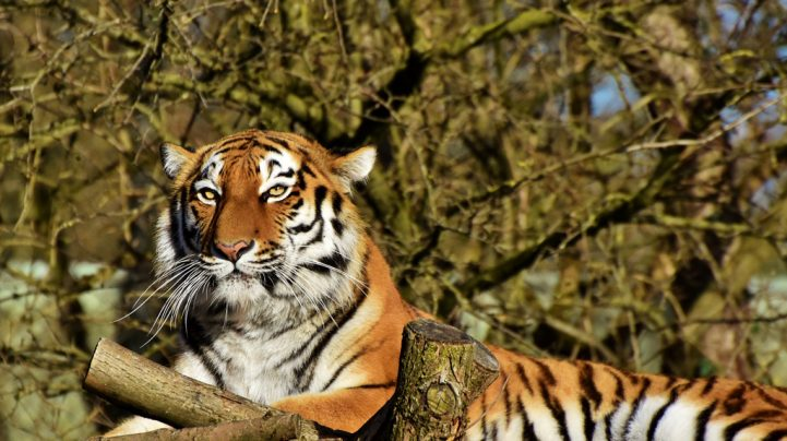 'Many Miles to Go Before the Tiger is Safe in India'